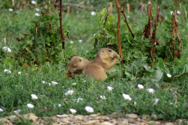 prairie dog duo 2