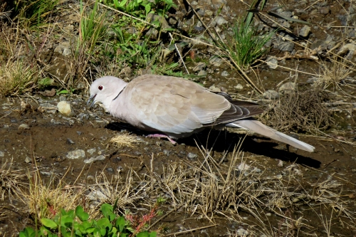 collared dove 1