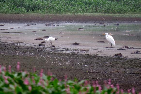 egrets 2