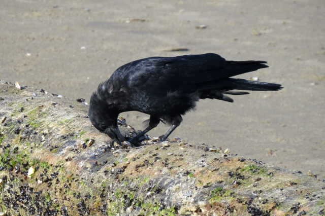 crow eating