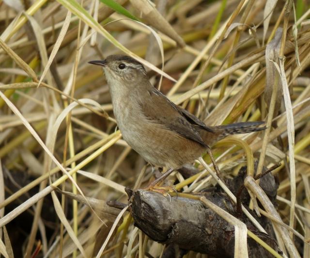 marsh wren side 2