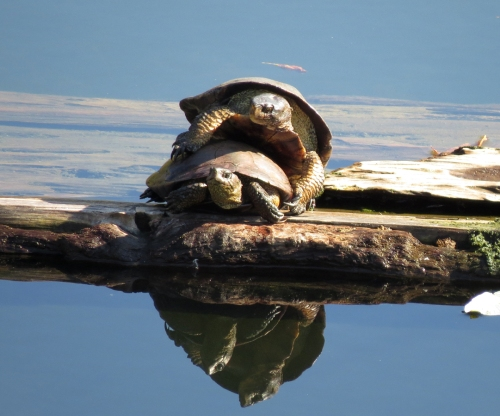 pond turtles