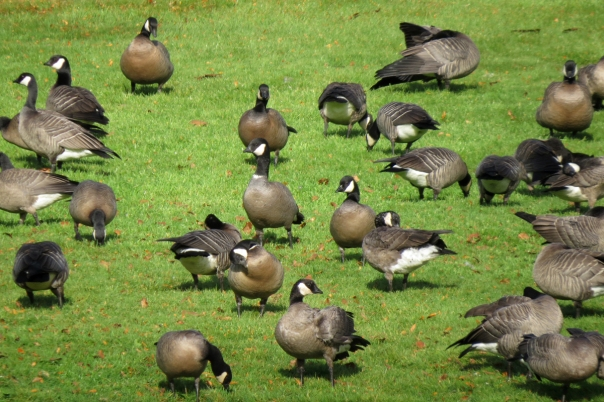 l cackling flock