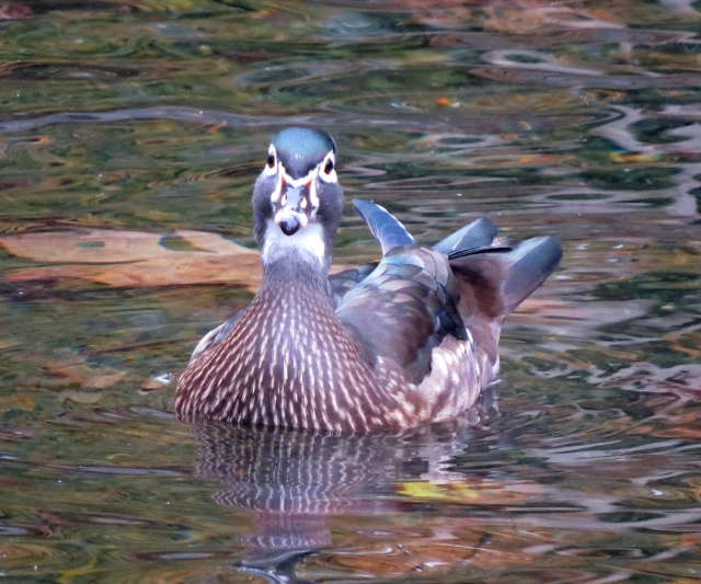 wood duck front