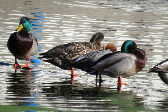 eurasian wigeon and mallards