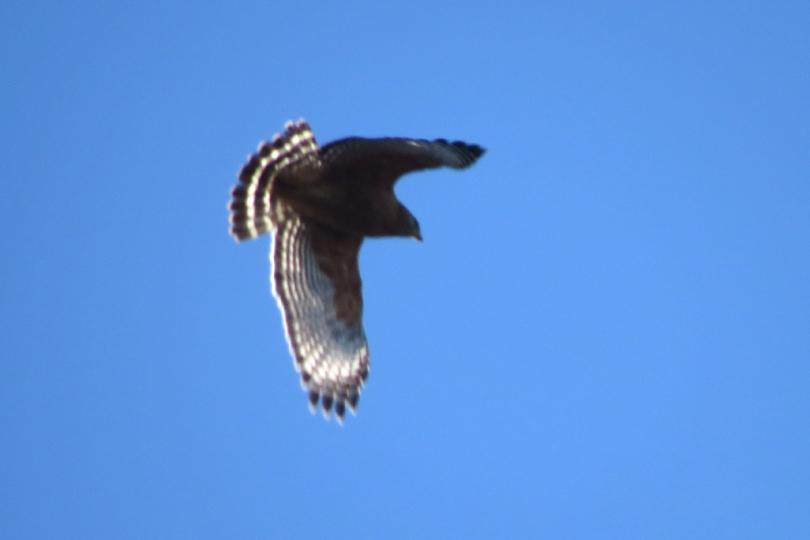 red-shouldered in flight