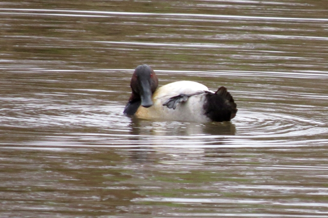 canvasback bath