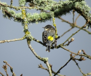 yellow-rumped back