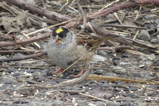 golden-crowned sparrow left
