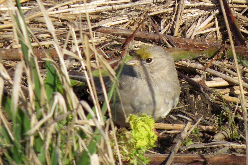 leucisitic golden-crowned sparrow
