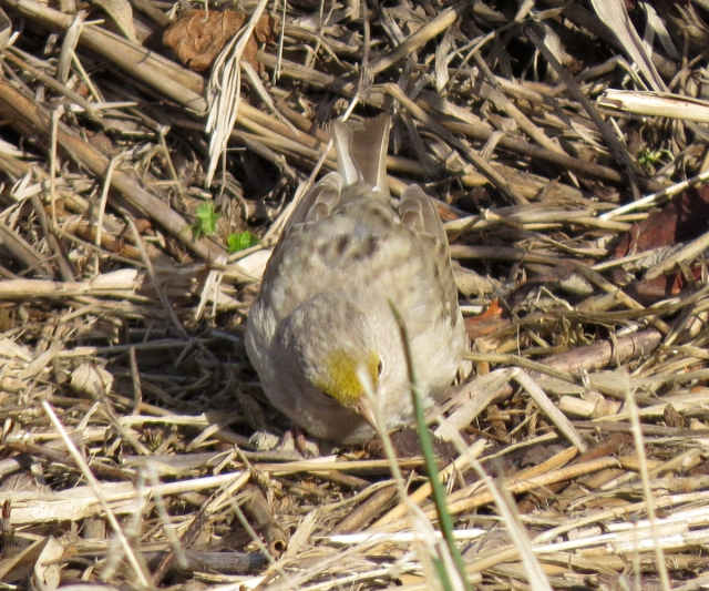 leucistic golden-crowned sparrow front