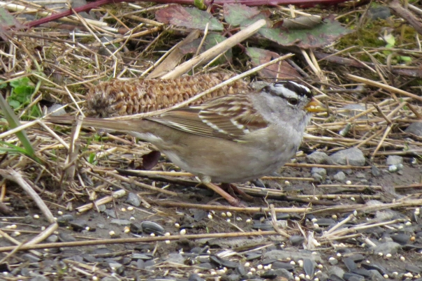 white-crowned sparrow right