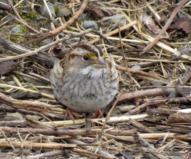 white-throated sparrow front 3