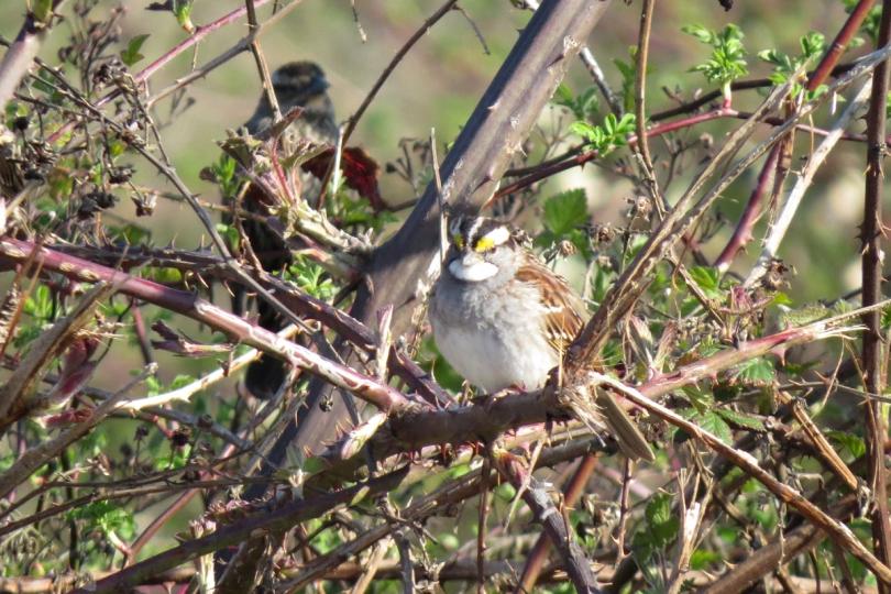white-throated sparrow white stripe form