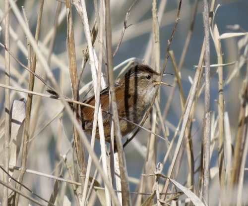 marsh wren singing