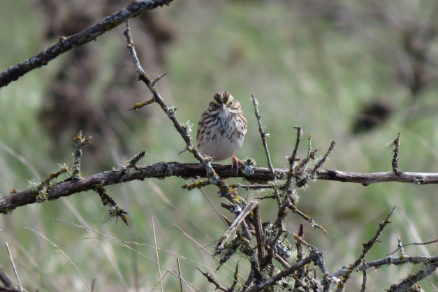 savannah sparrow front