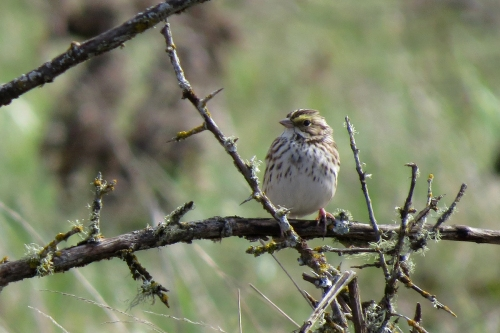 savannah sparrow side