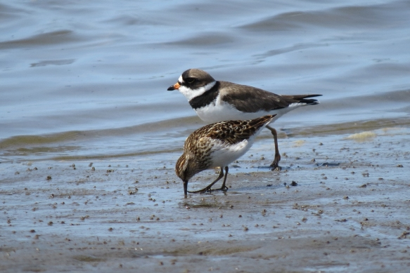 semipalmated plover and least sandpiper