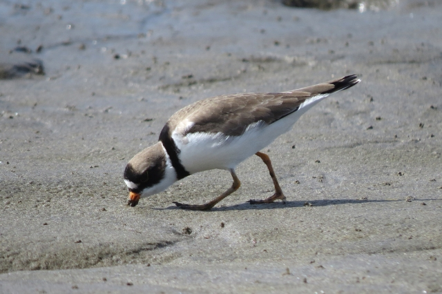 semipalmated plover feeding