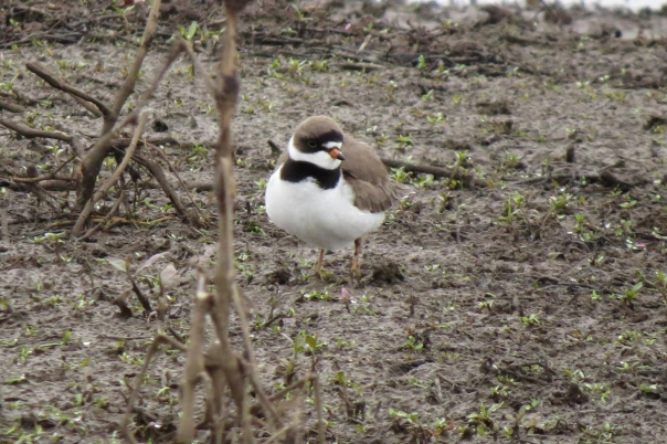 semipalmated plover fluffy