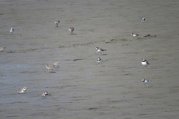 shorebird flock