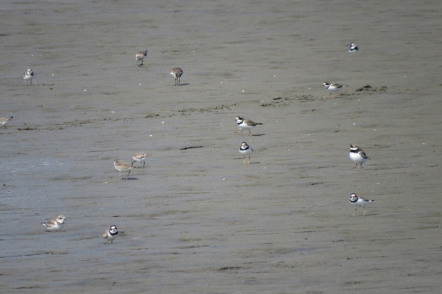shorebird flock