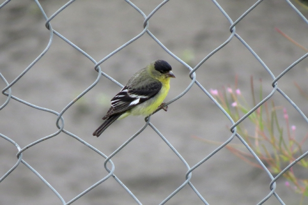 lesser goldfinch right