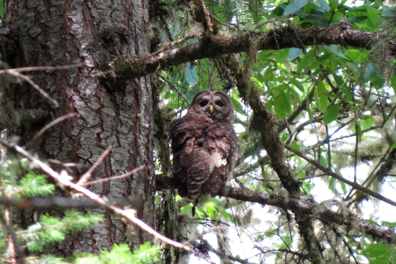 spotted owl 1