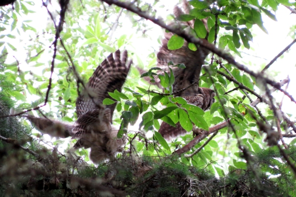 spotted owls in flight