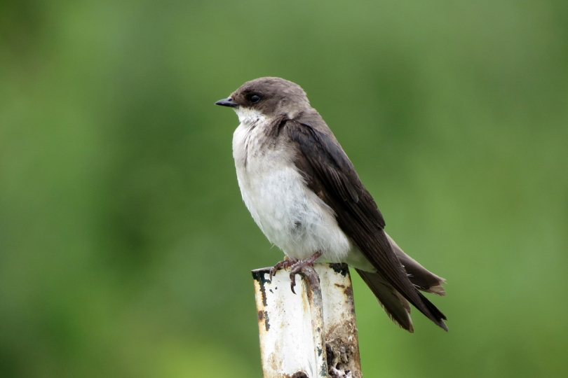 tree swallow female