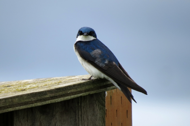 tree swallow male