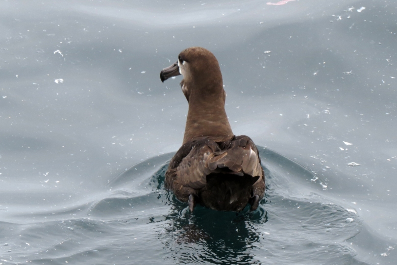 black-footed albatross back
