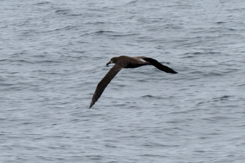 black-footed albatross flying