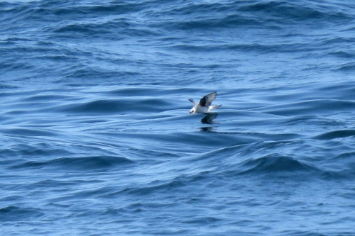 fork-tailed storm-petrel 1