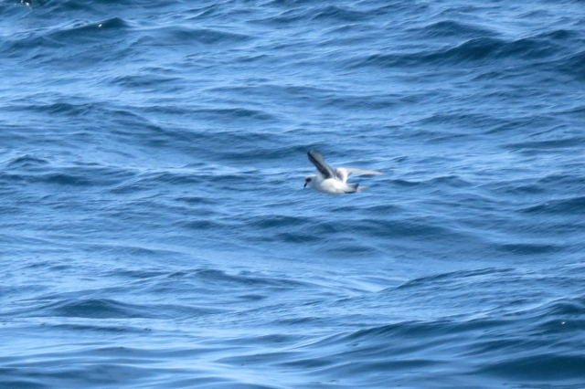 fork-tailed storm-petrel 2