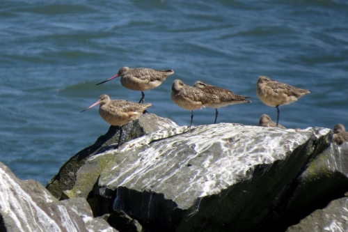 godwits and whimbrel