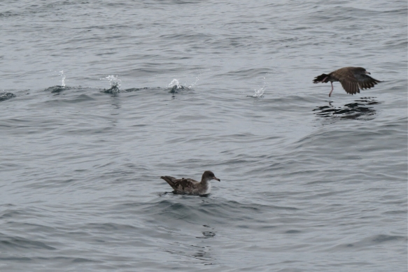 pink-footed shearwater patter