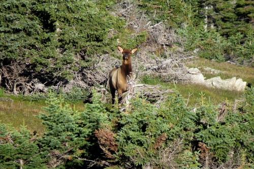elk cow 1