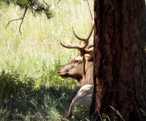 elk tree
