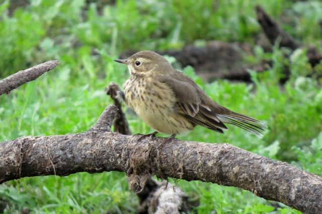 pipit side
