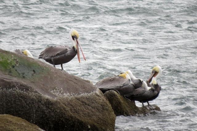 pelican yawn