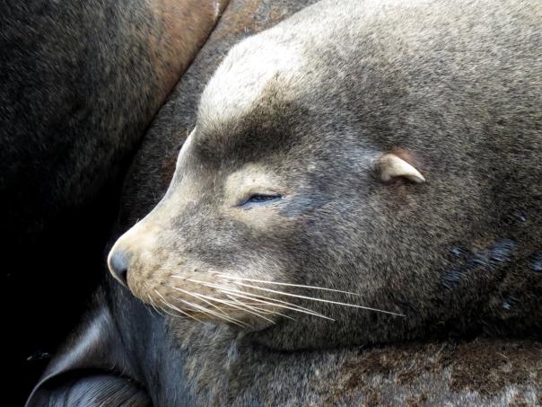 sea lion 1