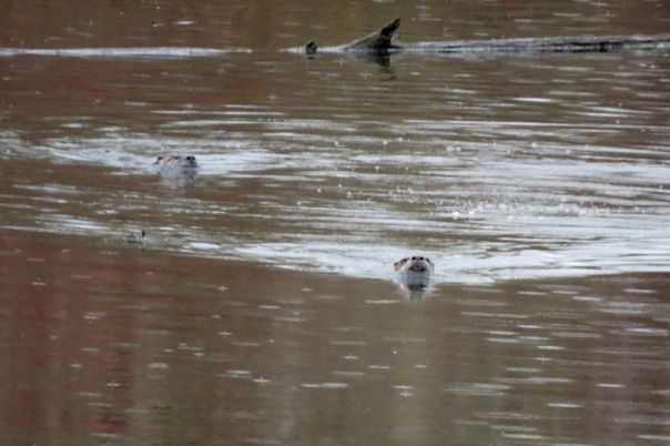 otter heads