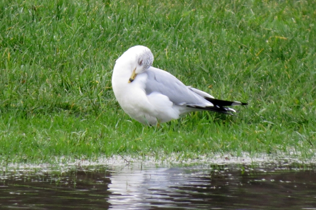 ring-billed gull preening