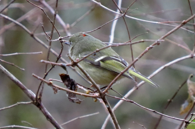 ruby-crowned kinglet 2