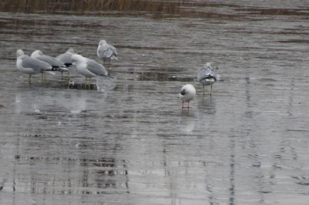 black-headed gull preening