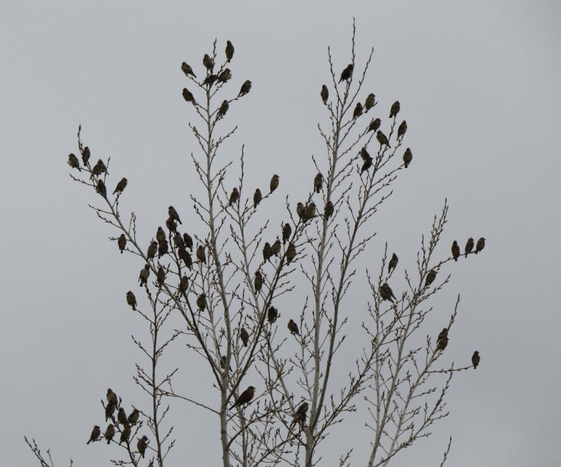 cedar waxwing flock