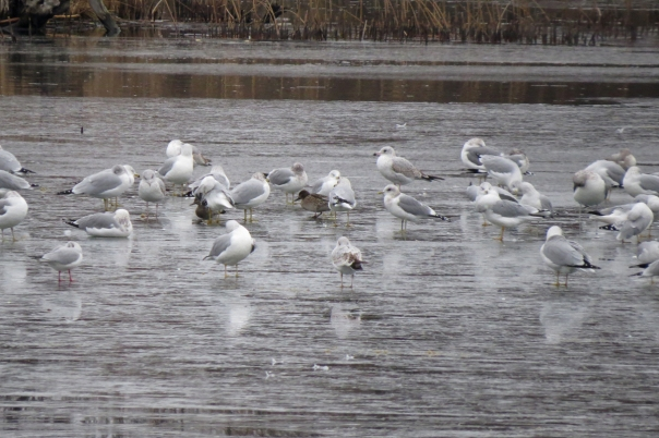 mixed gull flock