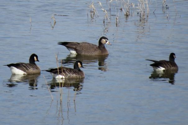 hybrid goose 1
