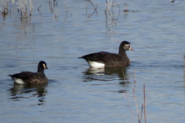 hybrid goose 2